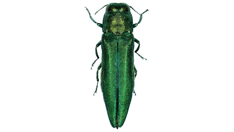 Emerald Ash Borer Management