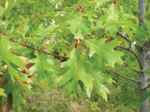 Untreated oak tree leaves