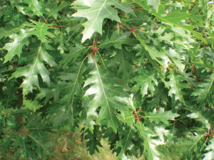 Oak tree leaves after treatment
